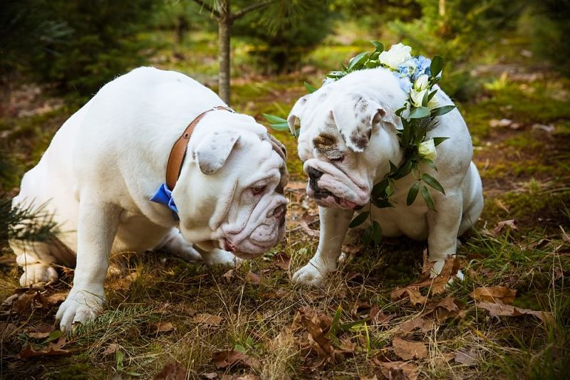 bulldogs bride and groom
