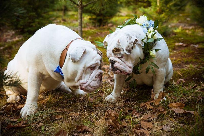 bulldogs bride and groom